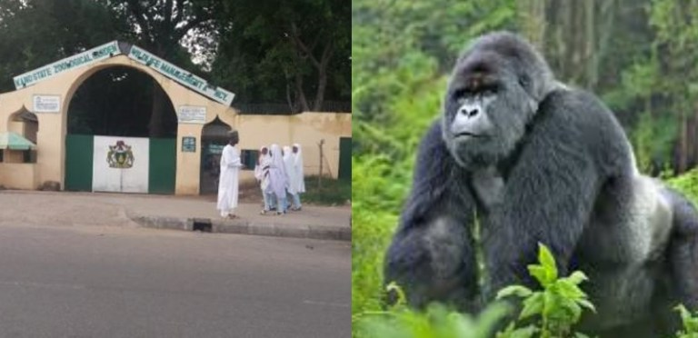 Drama as Gorilla reportedly sneaks into office, swallows N6.8m in Kano zoo