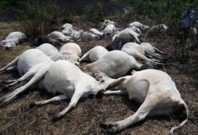 Herdsmen flee as thunder allegedly kills 36 cows in Ondo community (Photos)